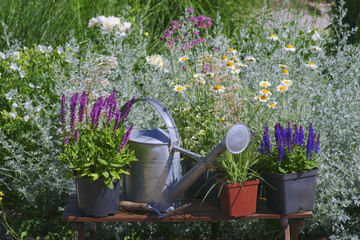 Garden works - planting and care of perennials / Salvia Sensation Deep Rose & Salvia Marcus & Molinia Wall mural