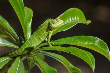 Chameleon lizard of Sri Lanka