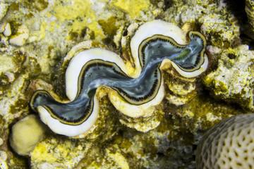 Große Riesenmuschel / Mördermuschel Tridacna giga im Meer