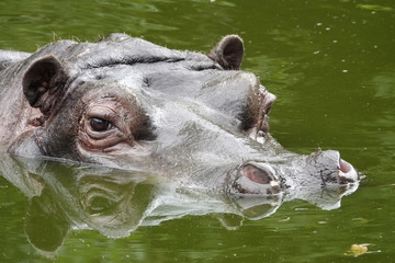 A hippopotamus in a pool at the zoo in Antwerp, Belgium.