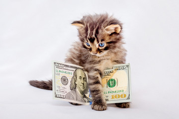A little cat keeps a hundred dollars. Reward for a photo session. Money to make purchases_