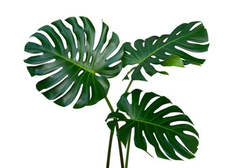 Photo sur Aluminium Vegetal Monstera plant leaves, the tropical evergreen vine isolated on white background, clipping path included