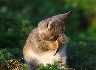 A two week old wild rabbit cleans its ears on the island of Skomer, Pembrokeshire, Wales