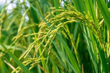 ear of rice in agriculture farm