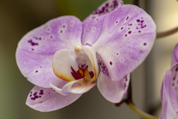 Beautiful springtime blooming orchid in the hothouse on the Biltmore Estate in North Carolina