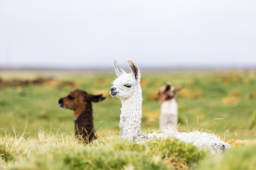 Three baby llamas sitting in the Altiplano in Bolivia