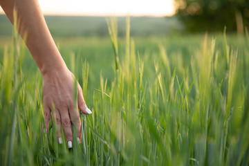 Young hand touch green grass on field during sunset ,nature