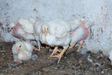 Broiler chickens. Domestic farm animals