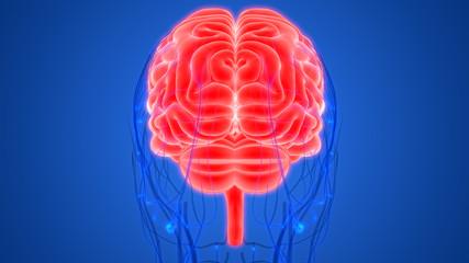 Human Brain with Circulatory System
