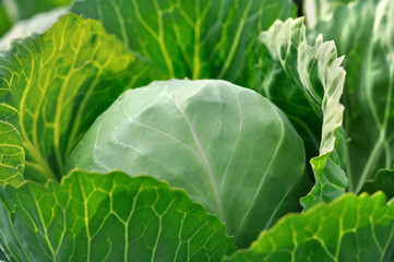 close-up of organically cultivated fresh cabbage  in the vegetable garden, morning lighting