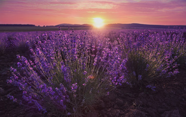 Lavender fieal and beautiful sunset