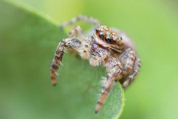 Marpissa muscosa (female)