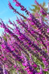 Flowering lavender in the garden