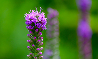 Closeup of a Lavender Wildflower in a tranquil scene