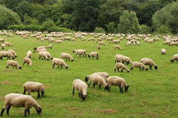 Frisch geschorene Schafe beim grasen auf einer Wiese in Wickede an der Ruhr