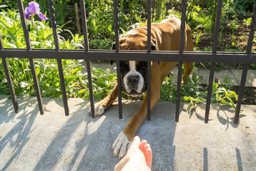 Boxer dog behind the fence. Slovakia