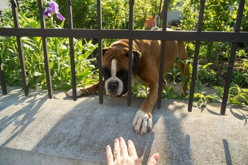 Boxer dog behind the fence. Slovakia