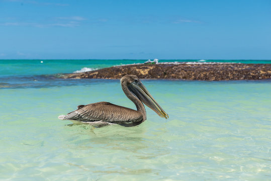 Pelican on the beach of Dominican Republic