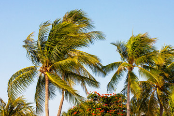Coconut palm trees on wind, tropical background