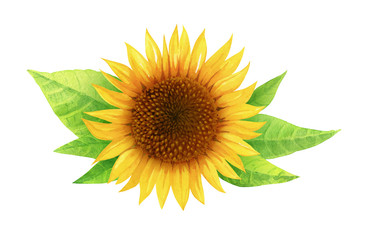 Watercolor illustration of sunflower with leaves isolated on white background with clipping path