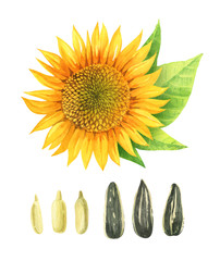Watercolor illustration of sunflower with leaves and seeds isolated on white background