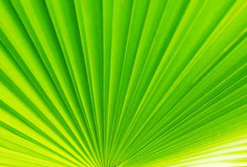 Closeup of palm leaves. The background natural texture