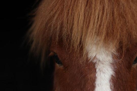 cheval islandais poney noir yeux fond noir