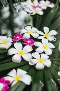 Frangipani flowers floating
