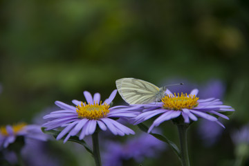 Butterfly on a lilac Alpine camomile - a green background