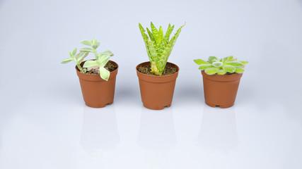 küçük dekoratif salon bitkileri