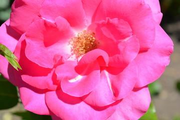 Huge rose flower blossom bud with rose petals of bright pink color
