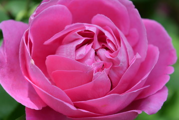 Beautiful bud of pink rose with beautiful petals on a background of rose bushes rose