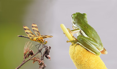 Focus Stacked Image of a Green Tree Frog Eyeing a Halloween Pennant Dragon Fly