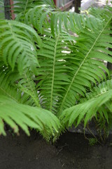 Beautiful bright green fern leaves, very contrasting and interesting