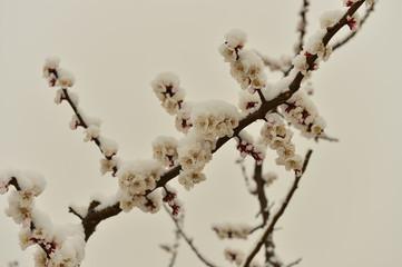 Beautiful apricot flowers