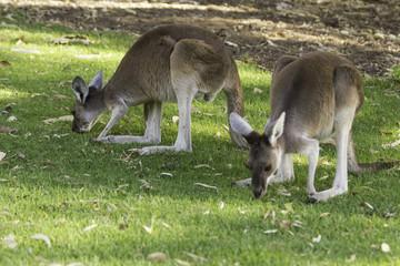 Two little kangaroos eating grass.