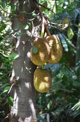 tree fruit thailand