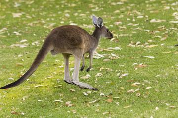 Small kangaroo on grass