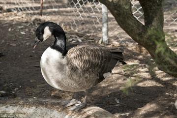a Canadian goose