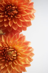 Close Up Of Two Vibrant Orange Dahlia Flowers