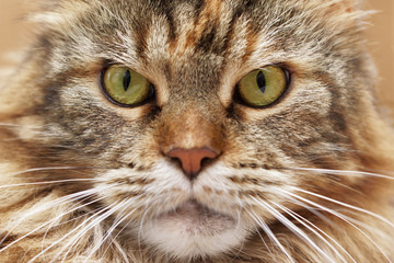 muzzle of cat close-up