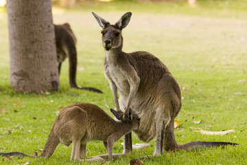 kangaroo feeding breeding