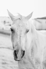 Old white horse with scars on its face