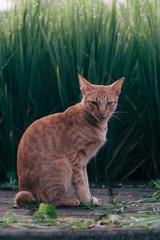 Ginger stray tomcat walking amongst Bali's rice fields