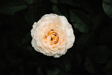Single Rose on Bush