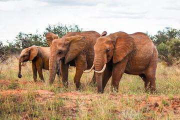 Three African bush elephants (Loxodonta africana), walking on savanna with some trees in background. Amboseli national park, Kenya.