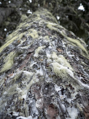 Pacific Northwest Tree Moss in Winter Season
