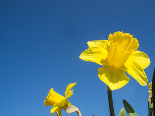 Daffodils in front of blue sky
