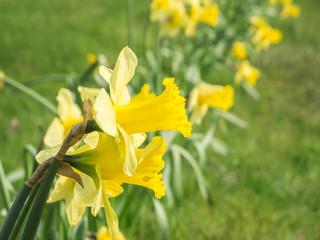 Beauty of daffodils