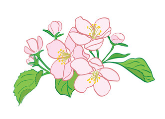 rosy vector apple-tree flowers bouquet